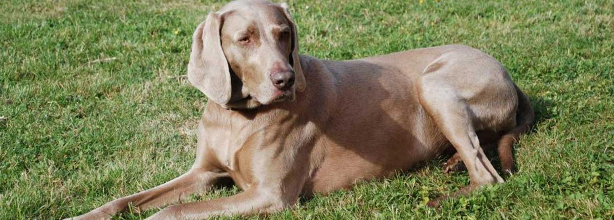 Weimaraner Hund liegt im Gras