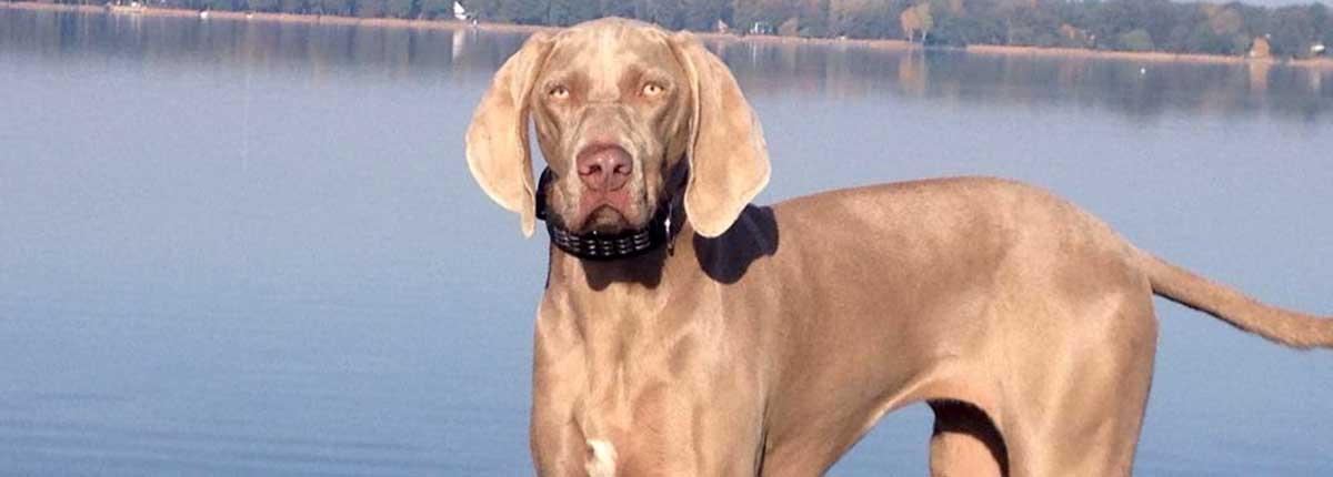 Magyar Viszla Hund am See