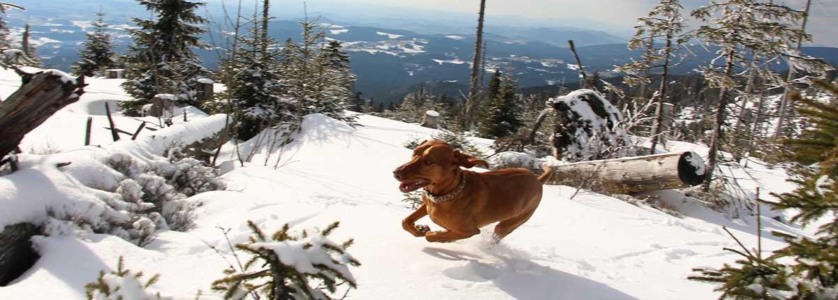 Magyar Viszla Hund im Schnee