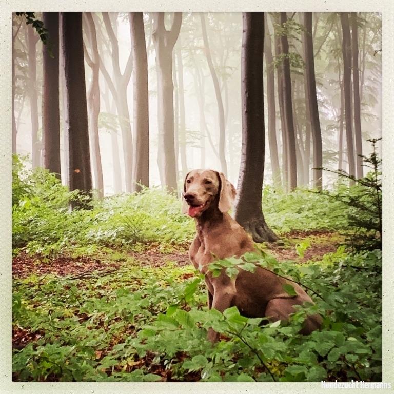 Weimaraner  Amelie im Wald