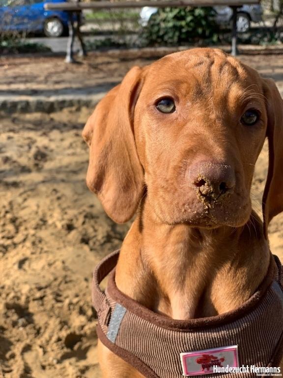 Magyar Vizsla Hund Bennet