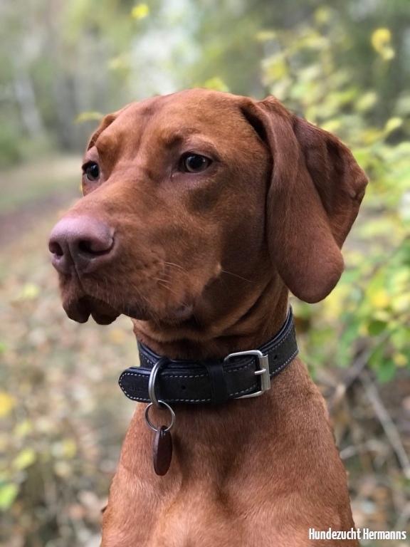 Magyar Vizsla Hund Indie