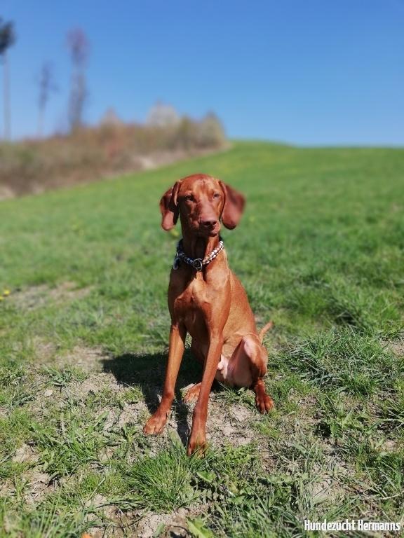Magyar Vizsla Hund Pluto