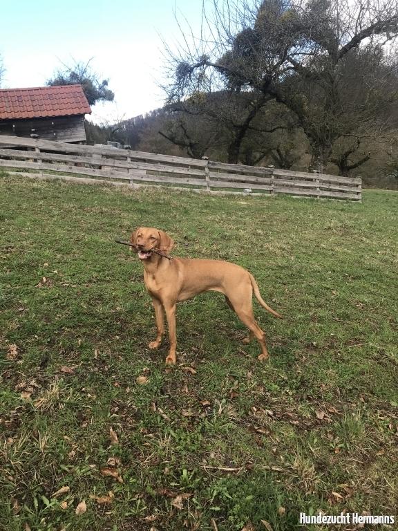 Magyar Vizsla Hund Tessa