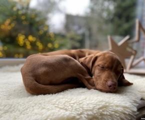 Pluto-Magyar Vizsla-der Traumhund