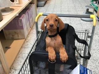 Magyar Vizsla Hund Alica