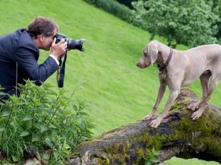 Weimaraner Hund Fides