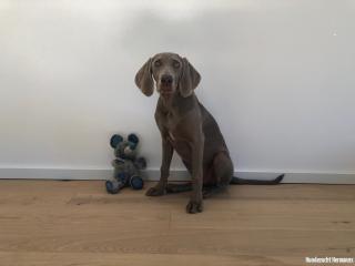 Weimarener Hund Henna