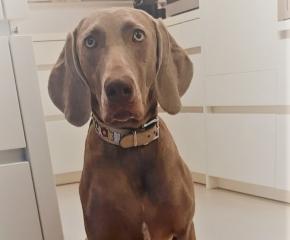 Weimaraner Hund - Henna - zum Geburtstag