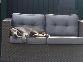 Weimaraner Hund Loui