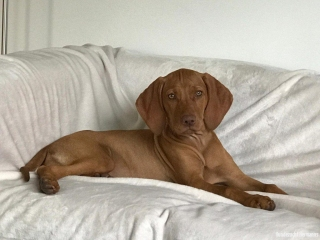 Magyar Vizsla Hund Melly