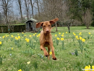 Magyar Vizsla Hund Peanut