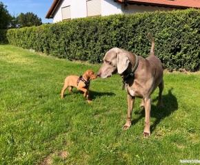 Weimaraner Hund mit Magyar Vizsla Hundewelpe